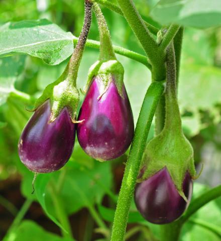 Eggplant, Standard Eggplant