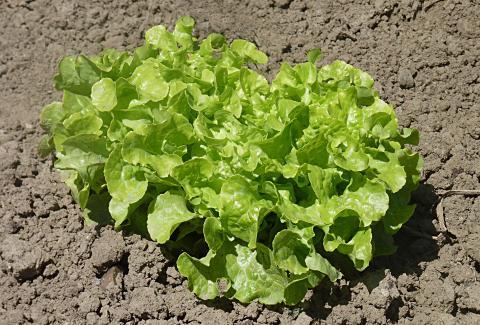 Lettuce, Leaf Credit: Jamain