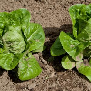 Lettuce, Bibb