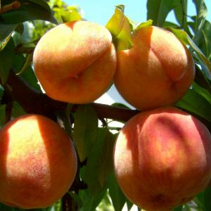 Earli Grande Peach