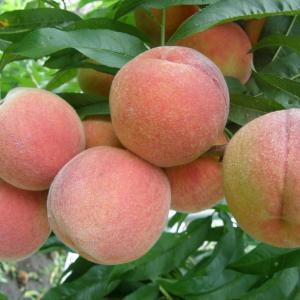 Florida Prince Peach