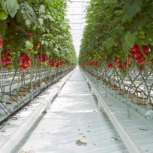 Tomatoes, Greenhouse